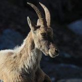 Discover these Ibex close to the campsite of Guillestre in the Hautes-Alpes.