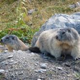 Découvrez le site des marmottes proche du camping de Guillestre.
