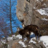 Mélèzes, chamois ou autre patrimoine naturel du territoire des Hautes-Alpes, du Parc Régional du Queyras ou du parc National des Écrins.